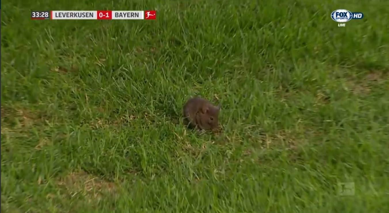 Bundesliga, le telecamere pescano il piccolo ospite nell'erba dello stadio che ospitava Bayer Leverkusen-Bayern Monaco