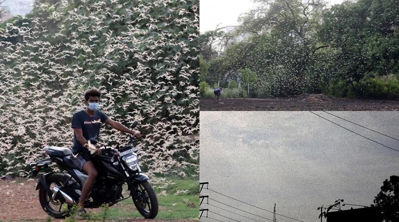 L'India sotto shock: l'impressionante invasione di locuste